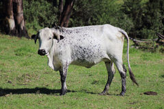 Nguni cow. A Nguni cow with its spotted hide stock photo