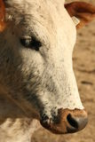 Nguni cow portrait Royalty Free Stock Photos