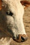 Nguni cow portrait. Close up of nguni cow face, mammal, bovine, portrait Royalty Free Stock Photos