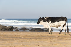 Nguni Cow At The Seaside Stock Photography