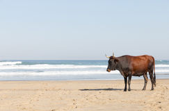 Nguni Cow At The Seaside Royalty Free Stock Images