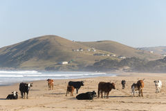 Nguni Cow At The Seaside Royalty Free Stock Photos