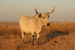 Nguni Cow white Royalty Free Stock Images