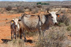 Nguni cows Stock Photos