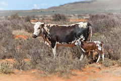 Nguni cows Royalty Free Stock Image