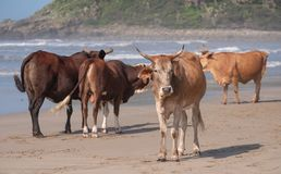 Nguni cows on the sand at Second Beach, Port St Johns on the wild coast in Transkei, South Africa.  stock image