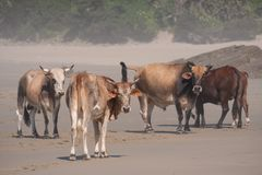 Nguni cows on the sand at Second Beach, Port St Johns on the wild coast in Transkei, South Africa. stock images