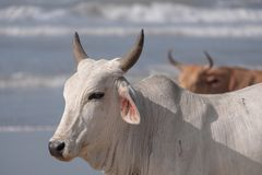 Nguni cows on the sand at Second Beach, Port St Johns on the wild coast in Transkei, South Africa.  royalty free stock images