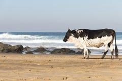 Nguni ko på sjösidan Arkivbild
