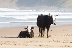Nguni ko på sjösidan Fotografering för Bildbyråer