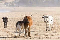 Nguni ko på sjösidan Arkivfoto