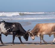 Nguni kor l?ser horn p? stranden, p? den andra stranden, port St Johns p? den l?sa kusten i Transkei, Sydafrika arkivfoto