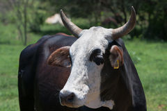 Nguni krowa - 2014-01-12 Obraz Stock