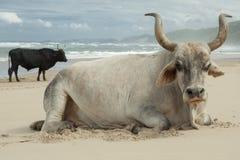 Nguni tjurar på ostkuststranden royaltyfri bild