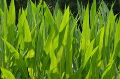 NH corn Royalty Free Stock Photo