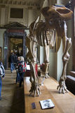 NHM Dinos exposition. Exposition of a Naturhistorisches Museum in Vienna showing, fossils skeletons and models of prehistoric animals. This museum is a major stock image