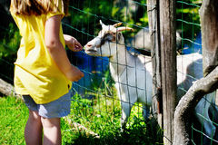 Niña adorable que alimenta una cabra en el parque zoológico en día de verano soleado caliente Imagen de archivo