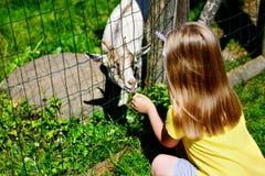 Niña adorable que alimenta una cabra en el parque zoológico en día de verano soleado caliente Fotografía de archivo libre de regalías