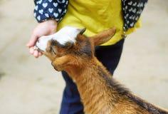 Niña adorable que alimenta una cabra en el parque zoológico en día de verano soleado caliente Fotos de archivo libres de regalías