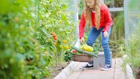 Niña adorable que recoge los pepinos y los tomates de la cosecha en invernadero Retrato del ni?o con el tomate rojo en manos almacen de video