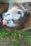 Niña que alimenta el camello two-humped Imágenes de archivo libres de regalías