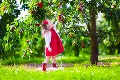 Niña que escoge la baya fresca de la cereza en el jardín Foto de archivo