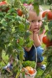 Niña que recoge los tomates de la cosecha en jardín fotos de archivo