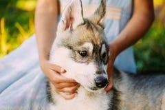 Niña y su perro de perrito Husky In Park In Summer foto de archivo