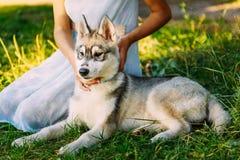 Niña y su perro Husky In Summer Park imagen de archivo