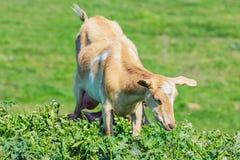 Niñera joven Goat Fotos de archivo libres de regalías