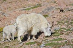 Niñera y cabrito de la cabra de montaña Fotografía de archivo