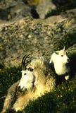 Niñera y cabrito de la cabra de montaña Imagen de archivo libre de regalías
