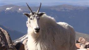Niñera y cabrito de la cabra de montaña almacen de video