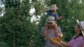 Niñez rural, granjeros jovenes con el hijo que cosecha manzanas en la huerta almacen de video