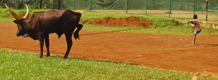 Niño Ankole Bull Foto de archivo libre de regalías