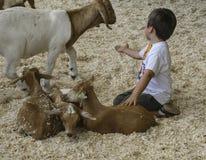 Niño con las cabras en la pluma que acaricia justa del condado de Los Angeles Fotografía de archivo