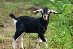 Niño de la cabra foto de archivo