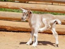 Niño de la cabra Imágenes de archivo libres de regalías