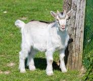 Niño de la cabra imagenes de archivo