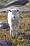 Niño de la cabra de montaña Imagen de archivo libre de regalías