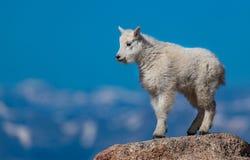 Niño de la cabra de montaña en el top de la montaña fotos de archivo libres de regalías