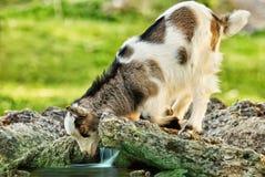 Niño de la cabra que mira en la reflexión de los it's en la corriente Imágenes de archivo libres de regalías