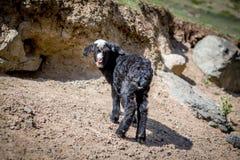 Niño de la cabra que mira la cámara Imagen de archivo