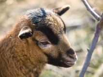 Niño de la cabra salvaje (aegagrus del Capra) Fotos de archivo