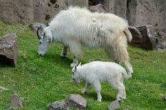 Niño de Rocky Mountain Goat Nanny And fotografía de archivo