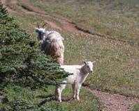 Niño del bebé y niñera Mountain Goats de la madre en la colina/Ridge del huracán en parque nacional olímpico en Washington State Imágenes de archivo libres de regalías