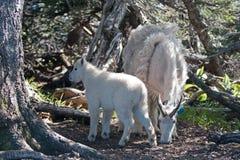 Niño del bebé y niñera Mountain Goats de la madre entre los árboles en la colina del huracán en parque nacional olímpico en Washi Fotos de archivo