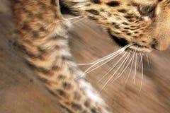 Niño del leopardo Foto de archivo