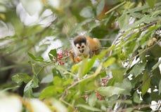 Niño del mono de ardilla, parque nacional del corcovado, Costa Rica Fotos de archivo