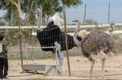 Niño indefinido que mira las avestruces la granja de la avestruz imagen de archivo